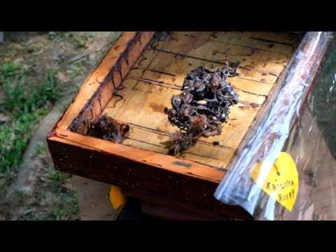 The Colonies Of Trigona Bee in Malaysia