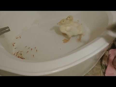 Baby Ducks Eating Goldfish In The Bathtub