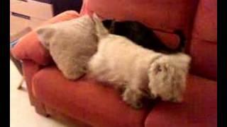 Mi gato Max atacando a perra mi Nana.