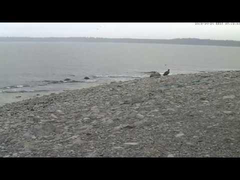 Hyljes Estonia 2018 04 24 White tailed Eagle landed on the shore 7:07