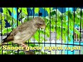 Sanger Gacor Ngerol Rapat  Mp3 - Mp4 Download