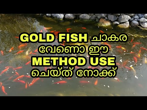GOLD FISH ചാകര || TIPS TO BREED GOLDFISH || Useful Tips