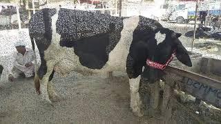 Big Udder Australian Cow/beautiful Australian Cow/Animals League