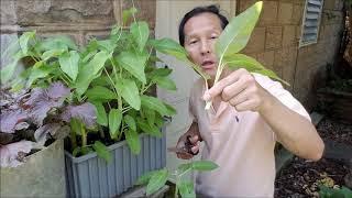Cách trồng rau muống không hạt  / Ăn Cơm rau muống xào tỏi
