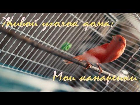 Живой уголок дома - МОИ КАНАРЕЙКИ/Домашние птички/Canary
