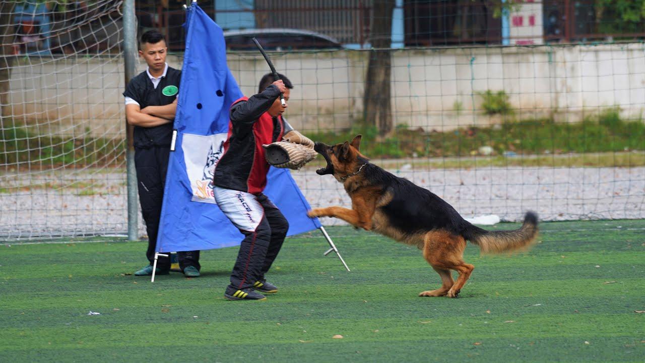 Chó cắn nhả theo lệnh|Becgie đẹp Working class VSM 2020[4K]