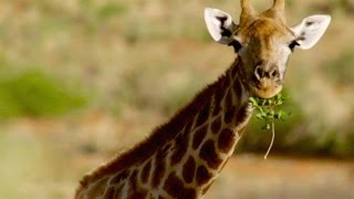 Why Do Giraffes Have Patches?