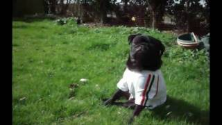Original Pooch's Pug Modelling The New England Dog T Shirt From Puppy Angel