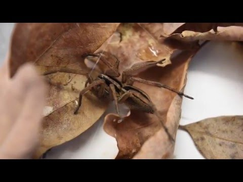 True Facts About The Wolf Spider
