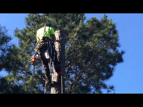 Cutting A Tree From The Top Down