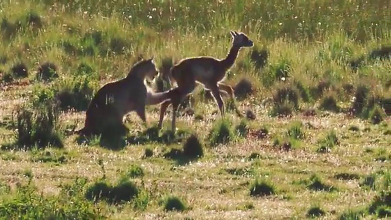 a6f2b15c713e Watch this! - Puma hunting a young guanaco and then plays with it ...