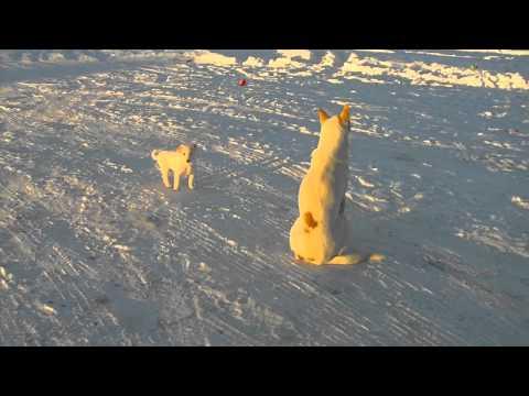 Canaan Dog pups introduced t..