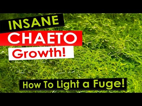 Insane Chaeto Algae Growth - How to light your refugium with Chaetomorpha