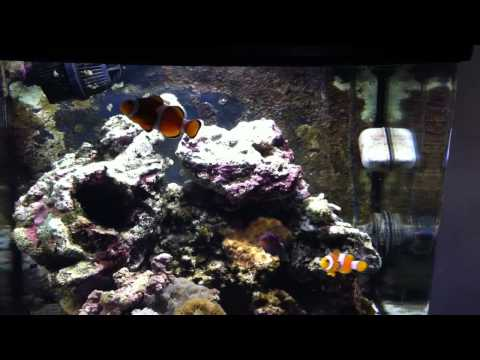 Pair Of Clown Fish And A Sixline Wrasses