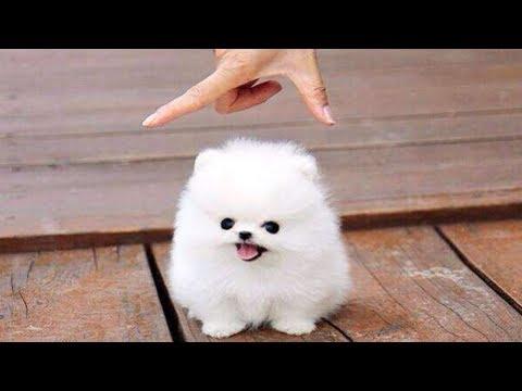 10 Razze Di Cani Miniature Che Non Crederai Esistano Realmente