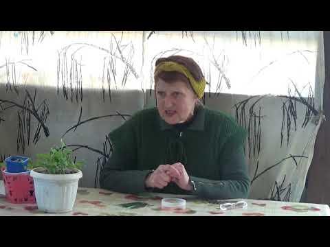 СКОРЦОНЕРА ИСПАНСКАЯ на Воронежской даче