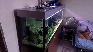 Мускусная черепаха и цихлиды в одном аквариуме