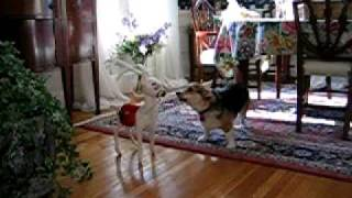 Skeeter The Corgi Barking At Stuffed Animal