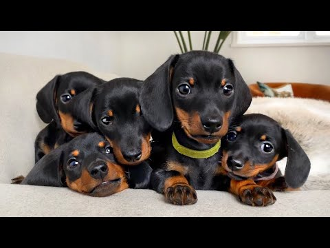 Dachshund puppies 4  8 weeks old, compilation.