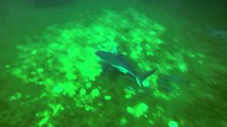 Pensacola Pyramids Lionfish Hunting Gulf of Mexico with Some Sharks