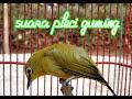Masteran Suara Pleci Di Jamin Pleci Anda Semakin Gacor  Mp3 - Mp4 Download