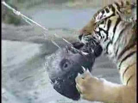 Tiger eat tuna youtube for What do tuna fish eat