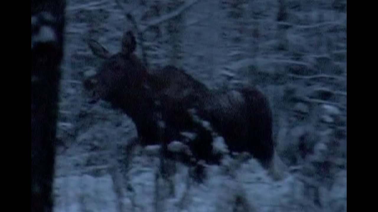 Охота на кабана и косулю. Загонная охота в Беларуси, часть-1.