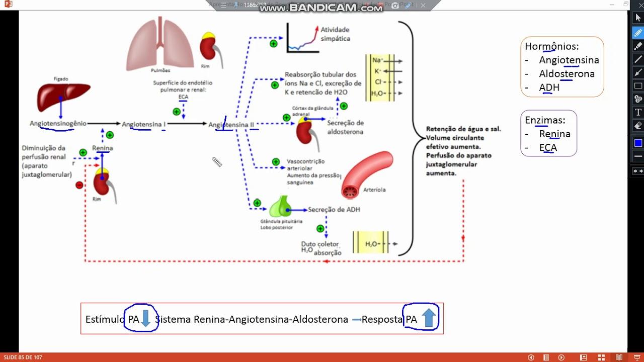 Sala de estudo - Fisiologia - Sistema Renina Angiotensina..