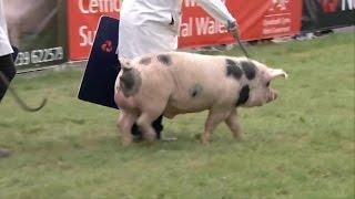 Sioe Mochyn y Flwyddyn | Pig of the Year Show