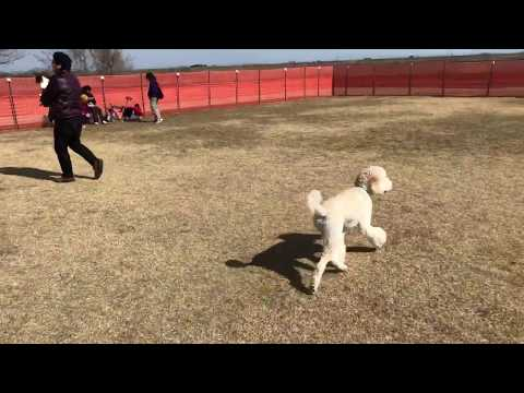 dog run TOKAI Japan standard poodle