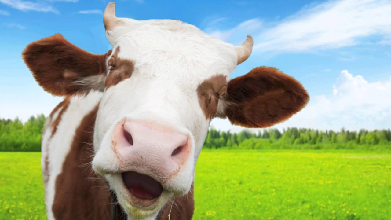 funny cow wallpaper - photo #14