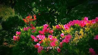 ツツジが咲く5月、庭でセキレイが巣作りしてました。立派に巣立ってくださいな。