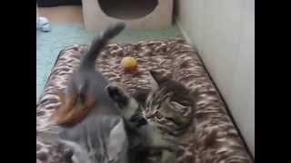 Прикольные коты. Игры маленьких шотландских котят