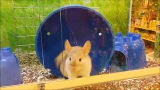 Beautiful Chinchilla at the pet store does a running trick