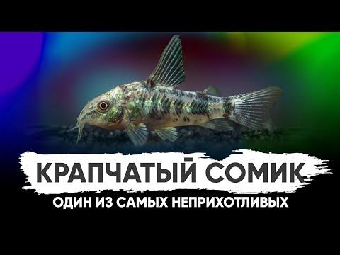 Сом Коридорас крапчатый. Содержание в аквариуме и ареал обитания