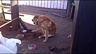 Пес кусает свою лапу
