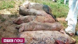 Quyết liệt ngăn chặn dịch tả lợn châu Phi | VTC1