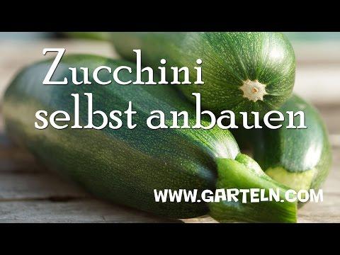 Geliebte Zucchini pflanzen - YouTube #GM_97