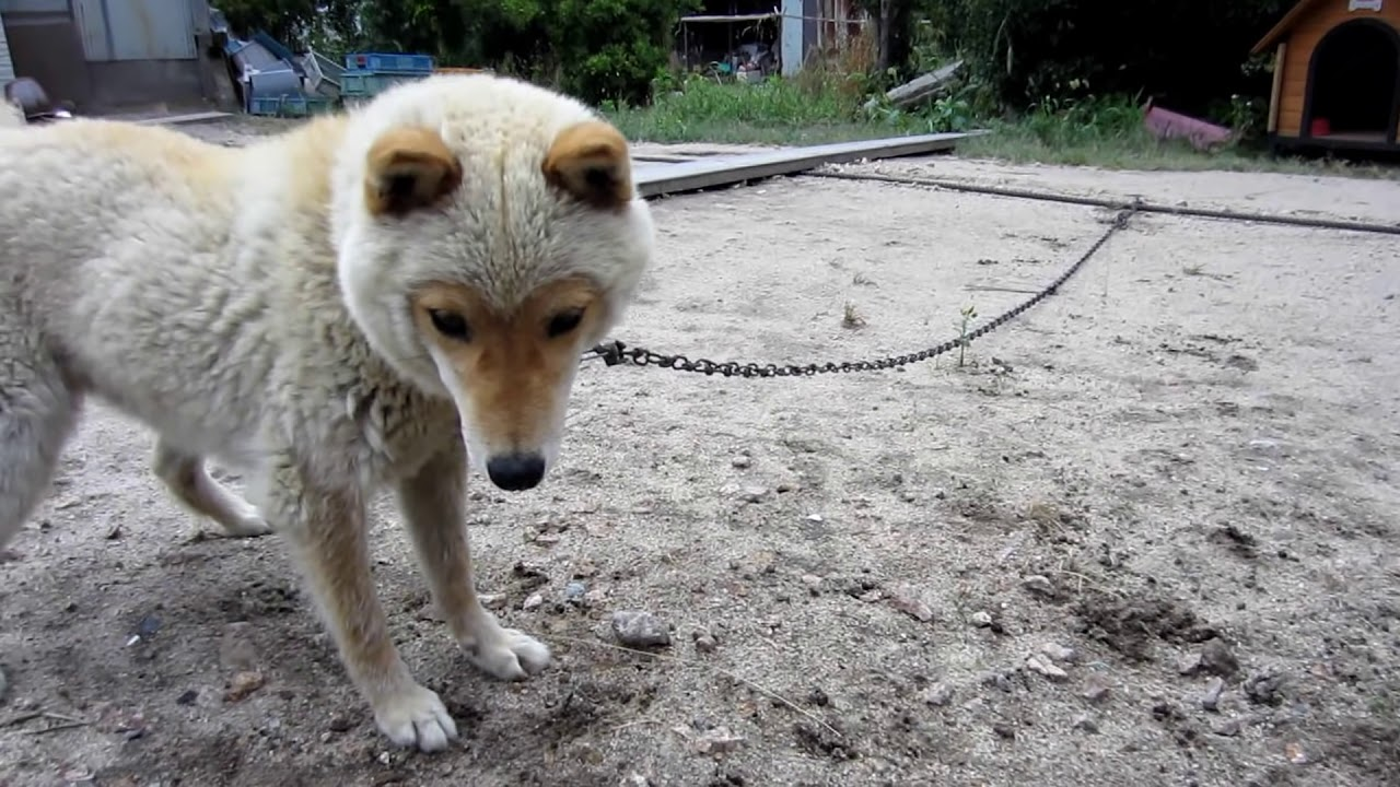 冬 山陰 毛 柴犬