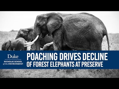Poaching drives decline in forest elephants at African preserve