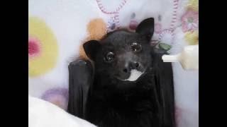 Bat enjoying smoothie