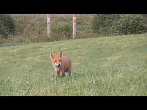 Fox Calling - Episode 3