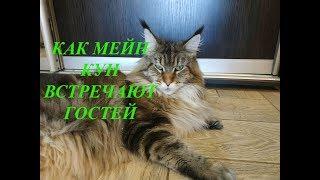 КАК КОШКИ МЕЙН КУН ВСТРЕЧАЮТ ГОСТЕЙ 😻ШИКАРНЫЕ КОТЫ И КОШКИ В ПИТОМНИКЕ BASTET.IN.UA MAIN COON CATS