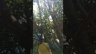 Cặp chim rẻ quạt múa hót rất hay, [Long]