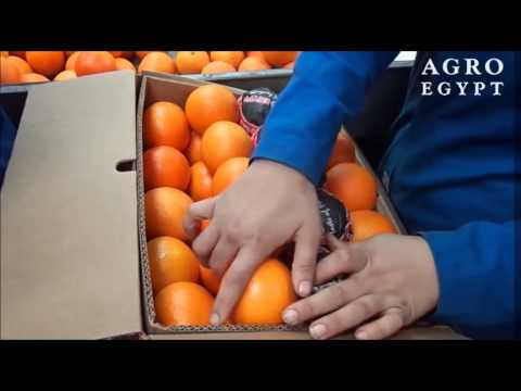 Valencia Oranges - AgroEgypt - April 2015