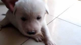 出生20天的小狗.