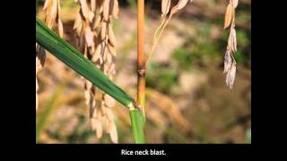 Rice Diseases: Rice Blast