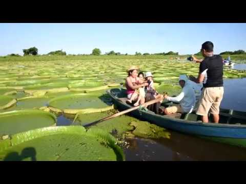 Huge water lilies attract visitors to Paraguay river