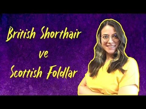 ACI GERÇEKLER   British Shorthair ve Scottish Fold