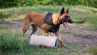 Begian Malinois Training With Dog Bite Developer